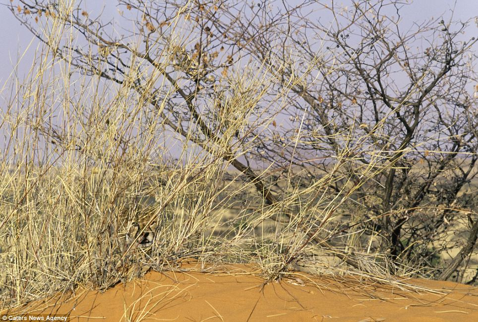 A sandy place to hide: A cheetah cub disguised against the Kalahari Desert, South Africa