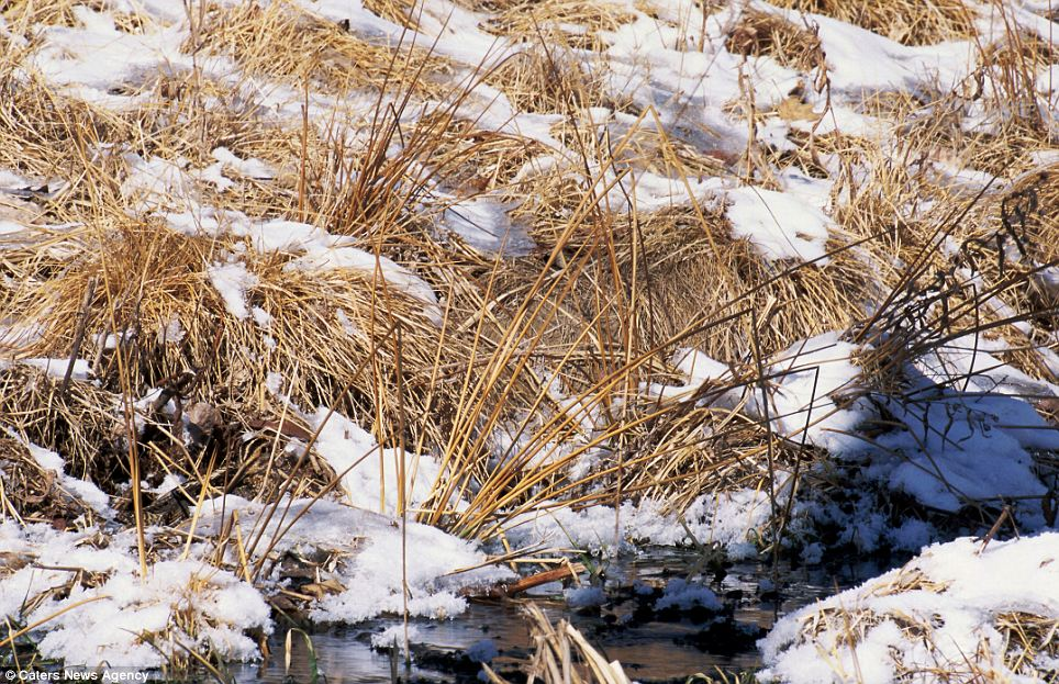 Water good place to hide: A Common Snipe, well hidden in the shoreline vegetation of a Minnesota stream