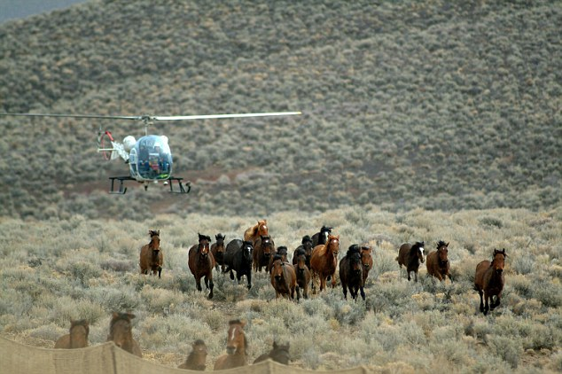 The Government uses helicopters to trap mustangs and thin populations