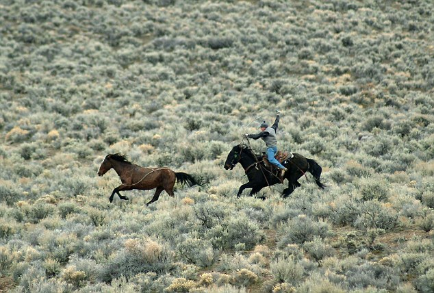 Officials estimate that just under 50,000 wild horses are held in temporary pasture