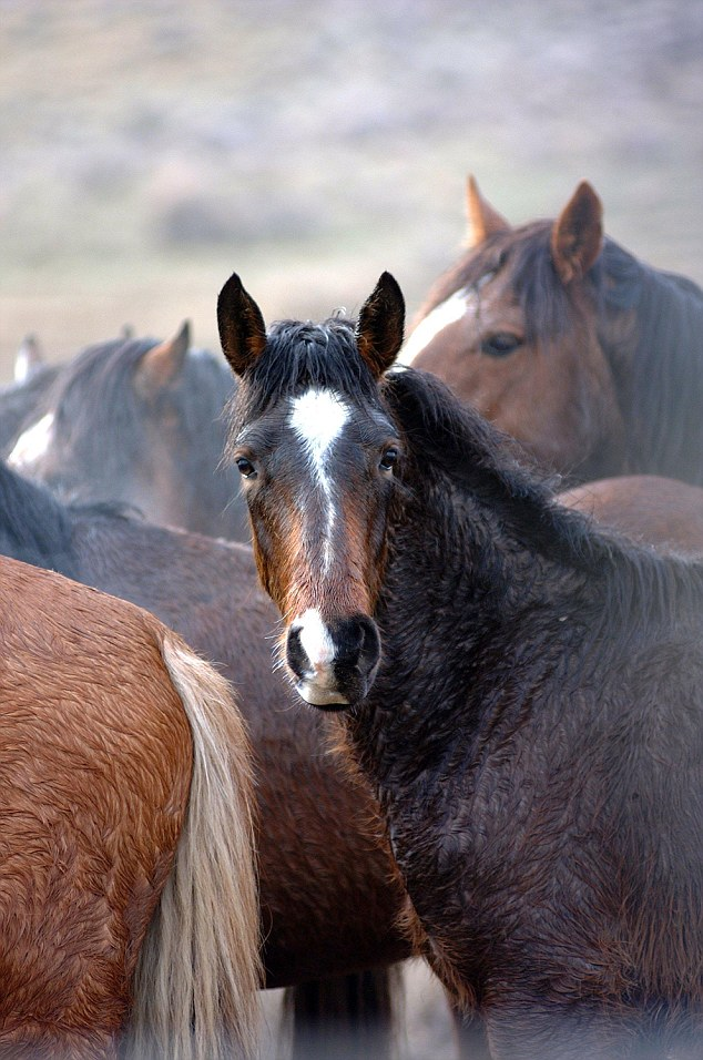 There remains a controversy over whether the mustang can be considered an indigenous animal in North America