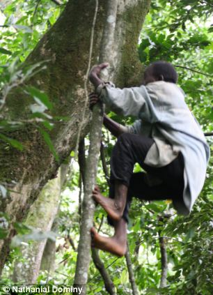 Men in Twa society from Uganda regularly climb trees to gather honey