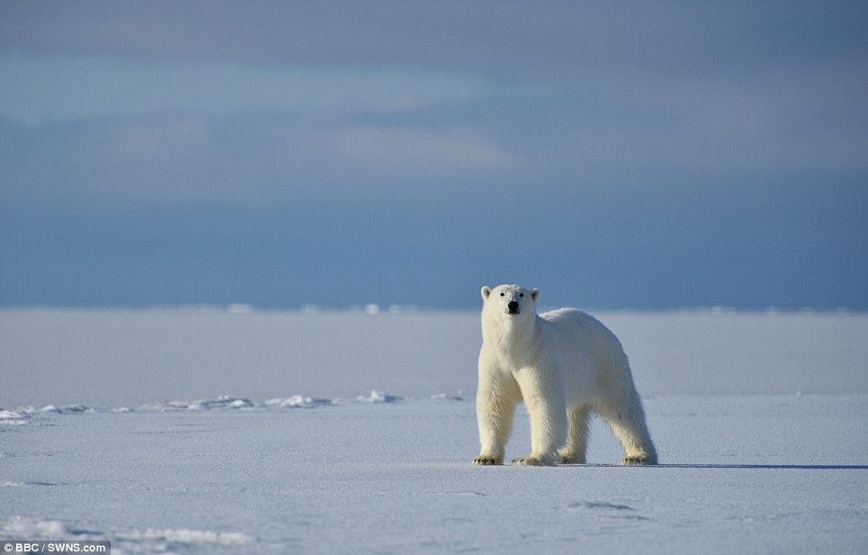 'The landscape is pretty featureless and it's amazing how they appear from nowhere': A polar bear spots the cameraman