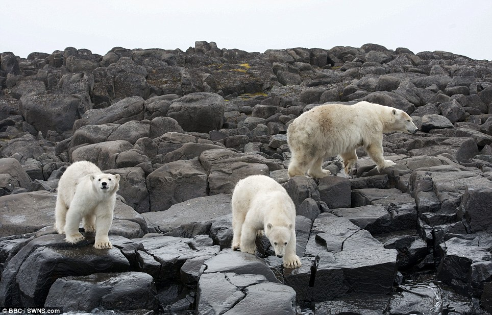 Desperate for food: Unlike many mammals, polar bears have to work hard to find food