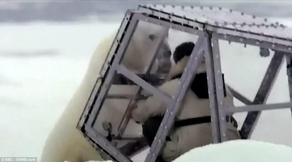 Man vs nature: The polar bear battered Buchanan in his tiny cage