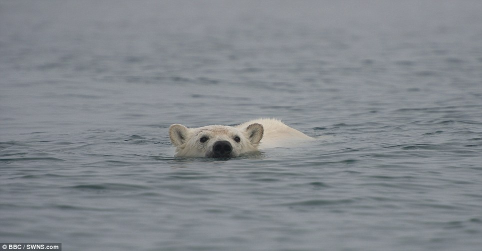 Desperate for anything to eat: Polar bears prefer to eat seals which they hunt from the edge of the ice