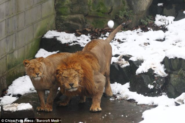 Lions react as tourists throw snowballs to them at Hangzhou Zoo on January 5, 2012 in Hangzhou, Zhejiang Province of China