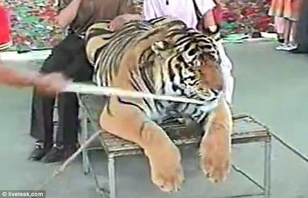tiger zoophilia Toronto Sun