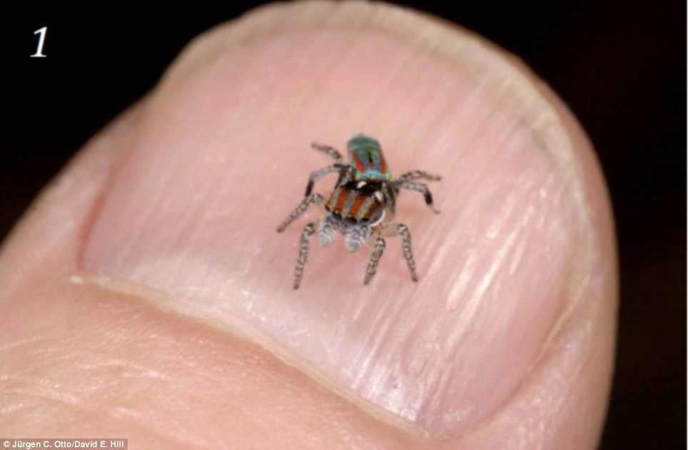 Image result for peacock spider