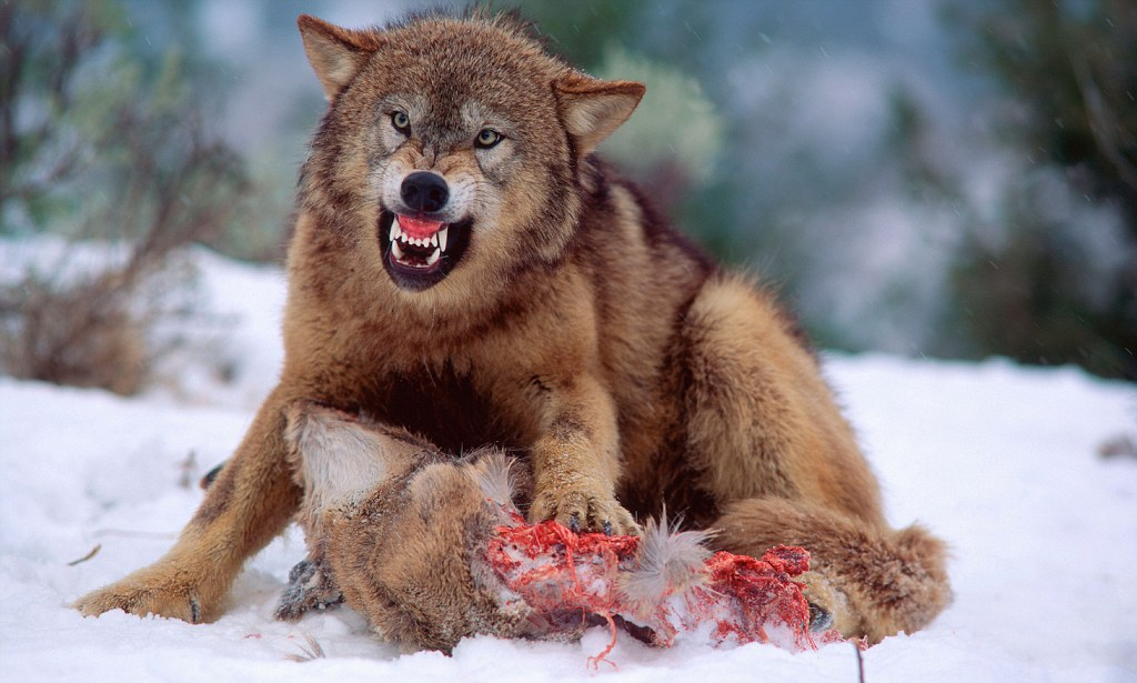 Wolves Versus Dogs Why A Wolf Will Never Be Mans Best