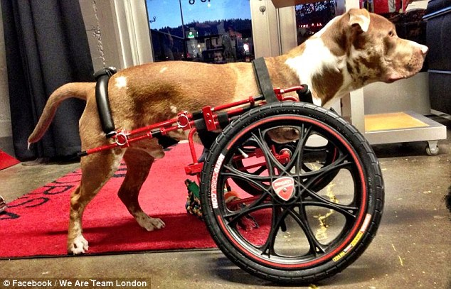 New wheels: Mechanics from a Northwest company called MotoCorsa made London a Ducati-inspired custom dog wheelchair