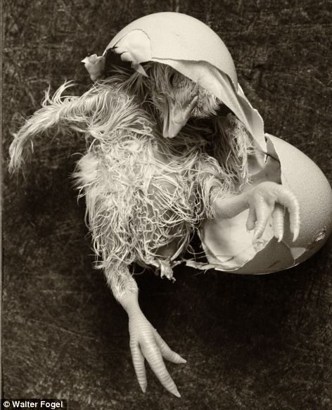 Walter Fogel's Happy Birthday picture, right, shows a chick hatching and has been shortlisted in the nature and wildlife category