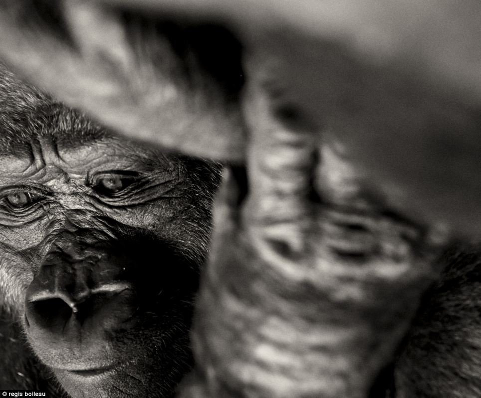 This intimate picture of a gorilla by Regis Boileau is part of a series of photographs highlighting the demise of the animal's natural habitat. It has been shortlisted in the nature and wildlife category