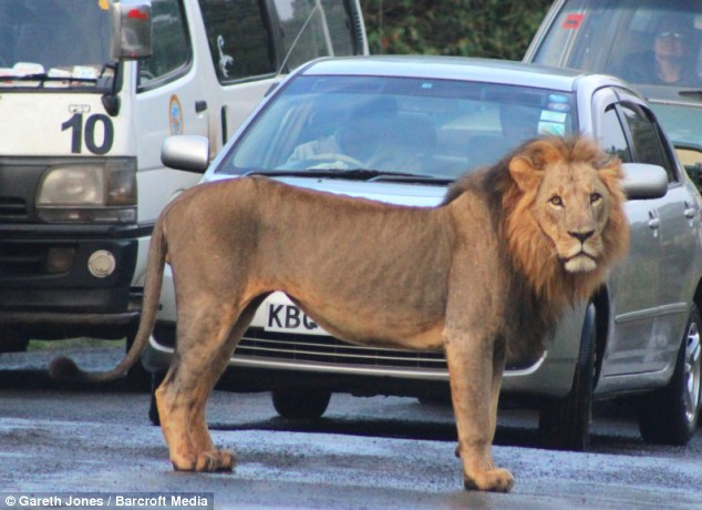 My spot: One of the lions looks perplexed as to what could be the problem as he stands in front of a line of cars