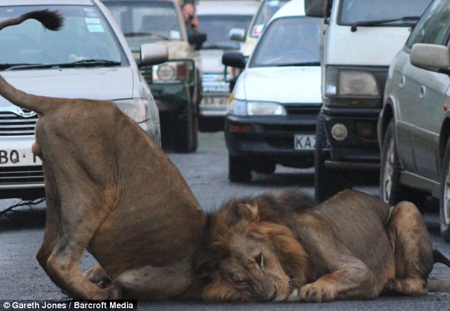 Roadkings: The animals showed complete disregard to the traffic trying to get around them as they lay down on the street