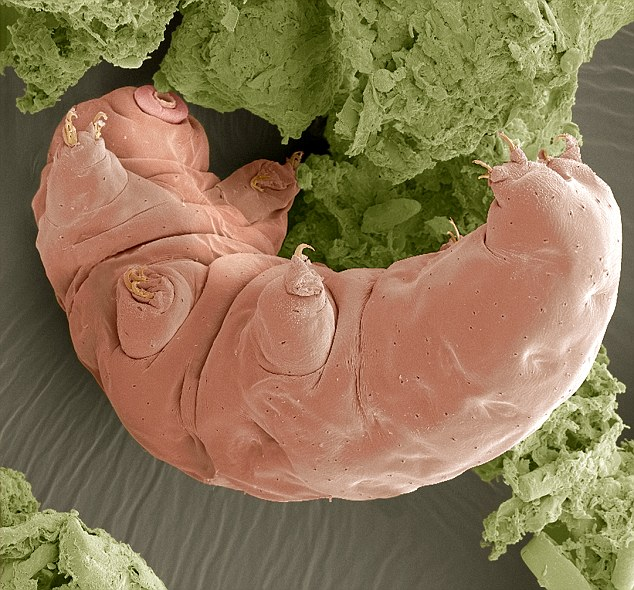 Water bears can be completely dried out for years - and then spring back to life as if nothing had happened
