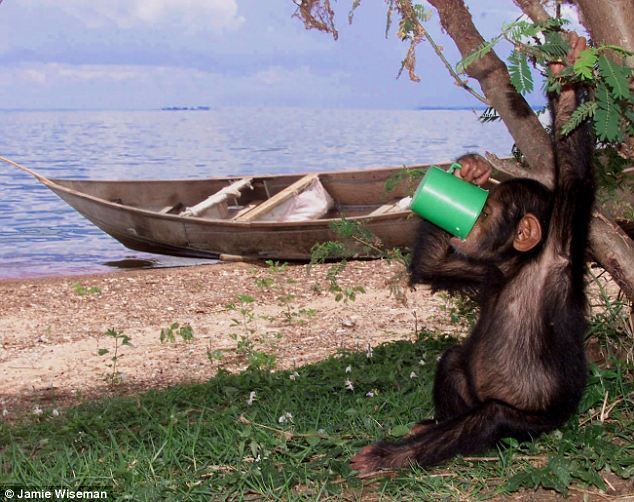 Here's to those who came before us... Scientists have traced the ability to metabolise alcohol back to a gene first found in the common ancestor humans share with gorillas and chimpanzees