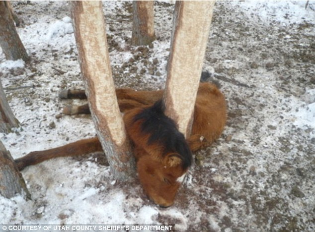 Horrific neglect: A young colt got stuck in a fence and was too weak from starvation to break free