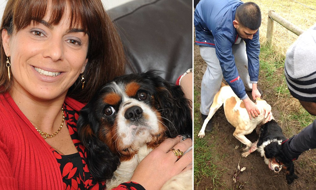 Dog Owner Took Pictures Of Her King Charles Spaniel Being Mauled By Pitbull And Posted Them On