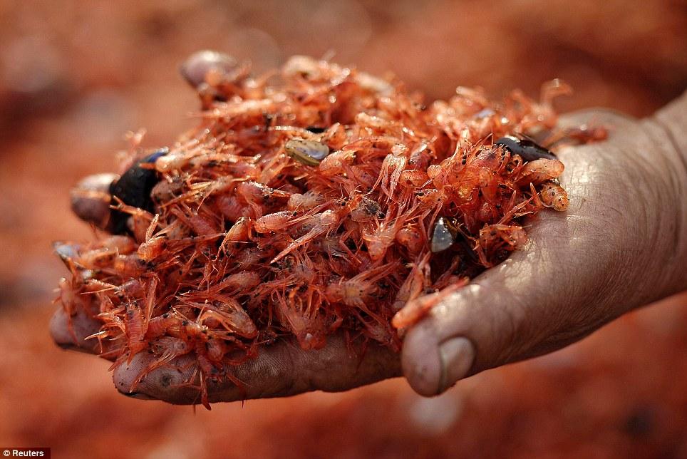 Un local muestra un puñado de camarones lavados en tierra.  Pescadores decir una estación de energía cercana ha calentado el agua y puede ser la causa de la catástrofe