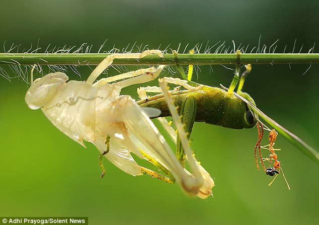 Carefully, but with determination and dexterity, the insect wriggles out of the shell