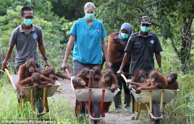 Baby orangutans are moved into the new International Animal Rescue centre at Ketapang in Borneo
