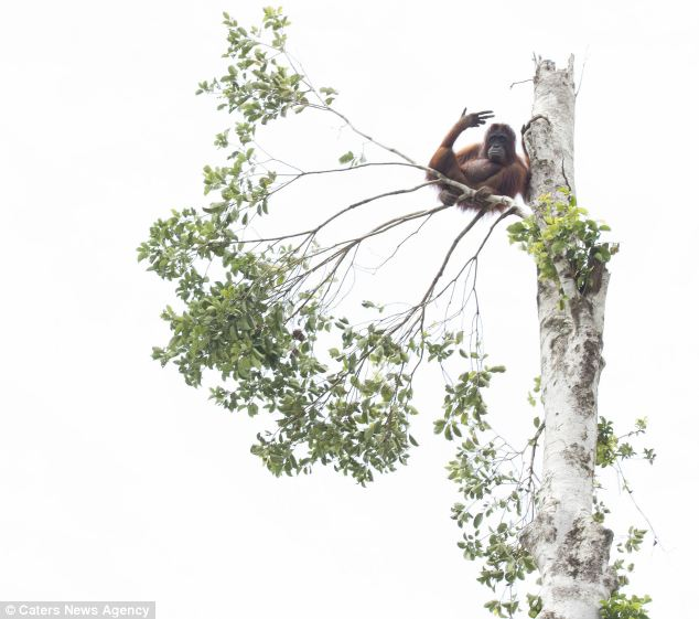 On the brink: Another orangutan clings to a branch before being shot by a stun gun and saved by International Animal Rescue