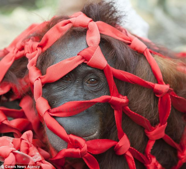 Captured: Another orangutan lies in a net after being rescued. Many had resorted to eating bark as their habitat was systematically destroyed ahead of being turned into a palm oil plantation