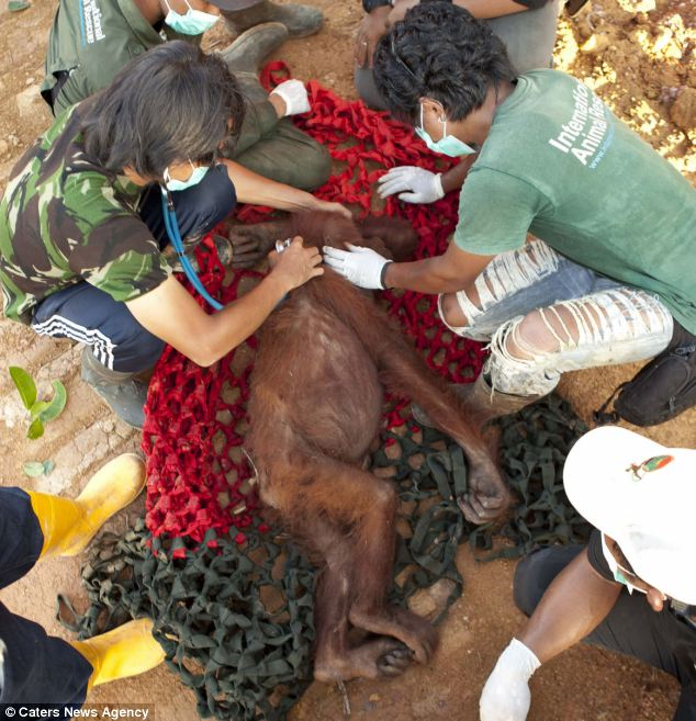 Weak: An orangutan is attended to by vets after being stunned. While this animal is expected to make a full recovery, many have died as a result of the deforestation