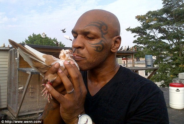 Pretty bird: Mike Tyson with one of his many beloved pigeons