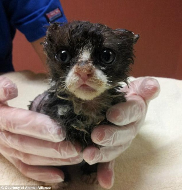 Recovering: Justin, a 5-week-old kitten who weighs just one pound, is steadily recovering and expected to survive after being doused in an accelerant and set on fire