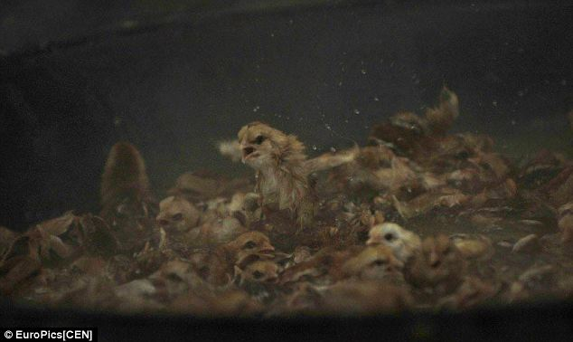 Desperate to live: These photographs were taken at a poultry farm in Qingyuan city, in Guangdong province, south-east China, where as many as 30,000 new born chicks a day were dumped into boiling water to be killed