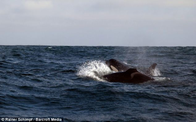 The young disabled male stayed at a distance when the pod went in for the kill after hunting the Bryde's whale