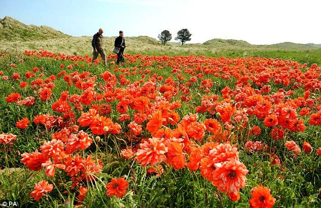 A sea of red as giant poppies shine in the sun at Bamburgh in Northumberland. The glorious conditions experienced last weekend, however, already seem like a distant memory