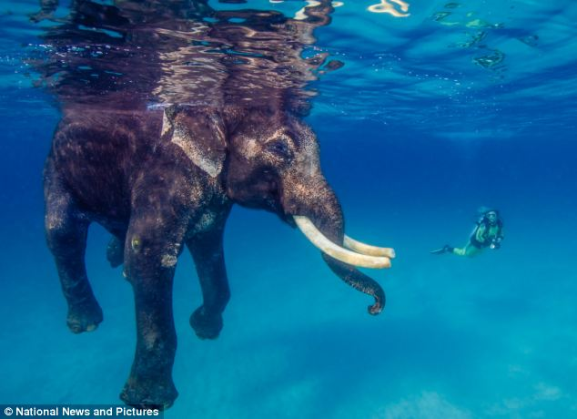 The 64-year-old animal moves perfectly in the ocean and uses his trunk as a snorkel
