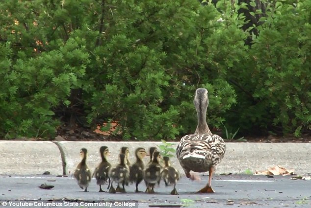 Happy end: Once the ducks were reunited, they went about their business