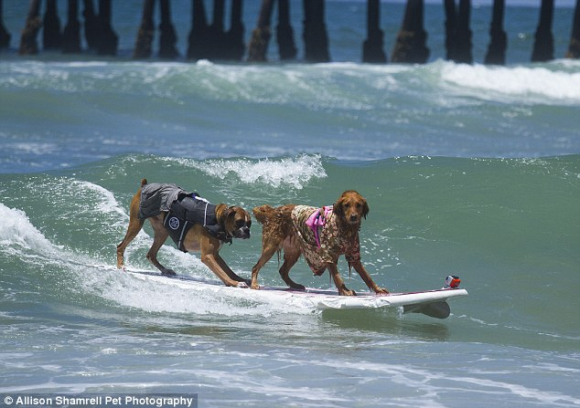 Two of a kind: Hanzo the boxer and Kalani the golden retriever won first place in tandem surfing