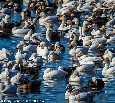 The area is popular with the lesser snow geese because they can feed on the abundant corn and sorghum