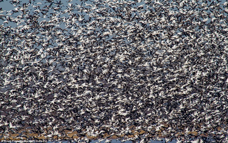 Escape to the sun: Snow geese winter in warm parts of North America from southwestern British Columbia through parts of the United States to Mexico