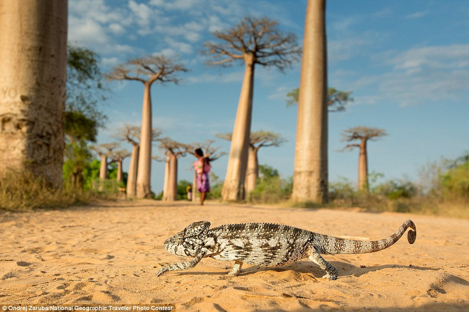 Walking Chameleon: It is a domestic animal of a small boy