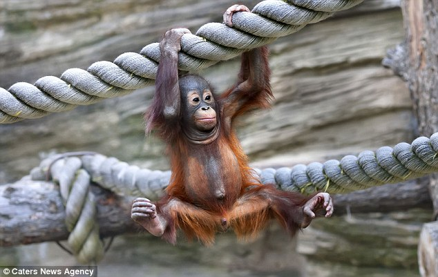 The baby orangutan gradually found his feet and got into the swing of things