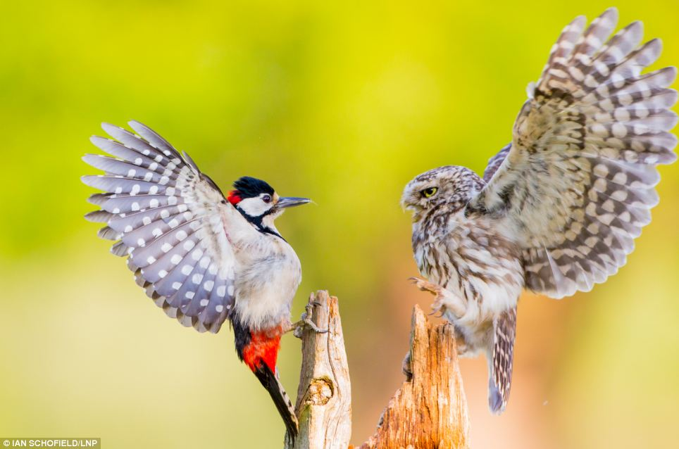 A tiny owl and an angry woodpecker clash - from Mail Online