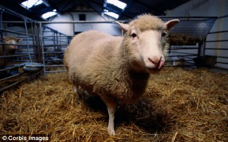 After extracting the blood, they isolated the white blood cells, and used the nuclei to do the cloning - using the same procedure that created Dolly the sheep (pictured)