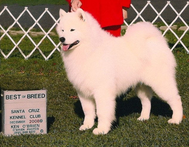 Prize: Prize show dog and stud Justin, AKA Polar Mist You Gotta Believe, has allegedly been kidnapped and neutered by a woman who was looking after him