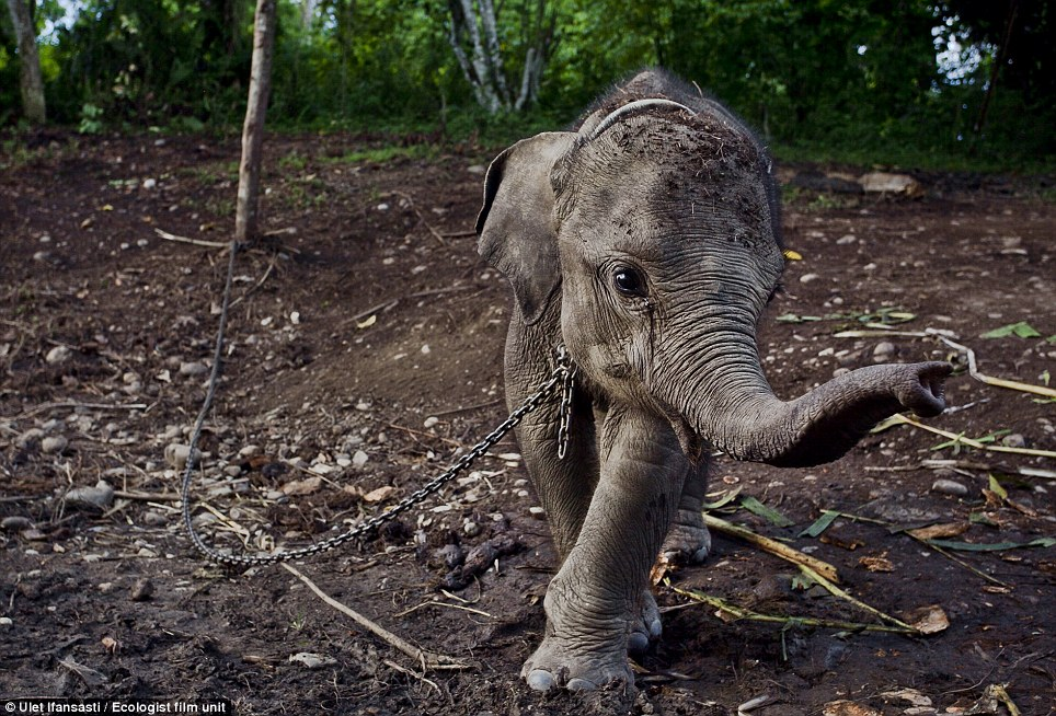 Raja is a male baby elephant found in north Aceh, villagers found him roaming community plantation and held him captive