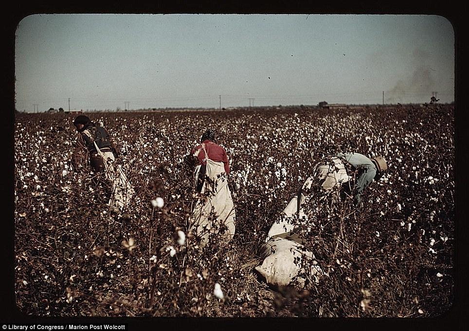 House Plantations Cotton