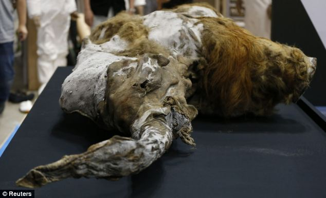The mammoth, pictured, was discovered in an ice tomb in the New Siberian Islands, or Novosibirsk Islands earlier this year.