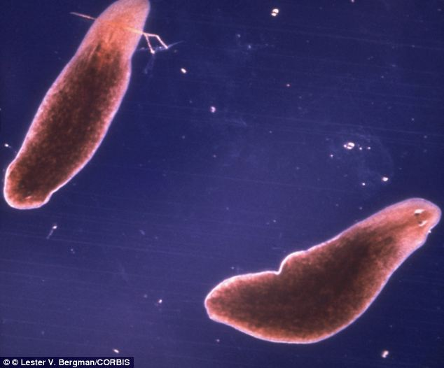 Planarian worms have two eye-spots, pictured, that can detect the intensity of light.