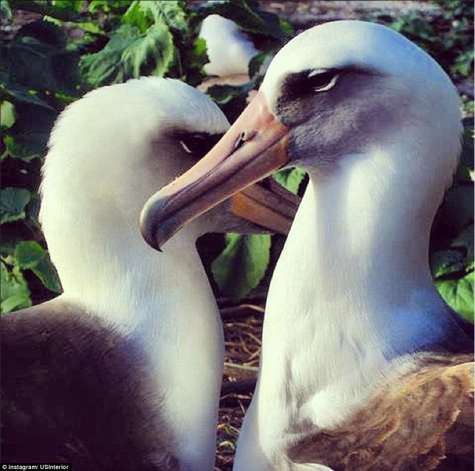 Hawaii: Layson Albatross mate for life