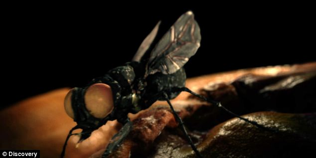 The New World Army Screw Worm Fly (CGI pictured) laid eggs inside Rochelle's ear whether they hatched and feasted on her flesh.